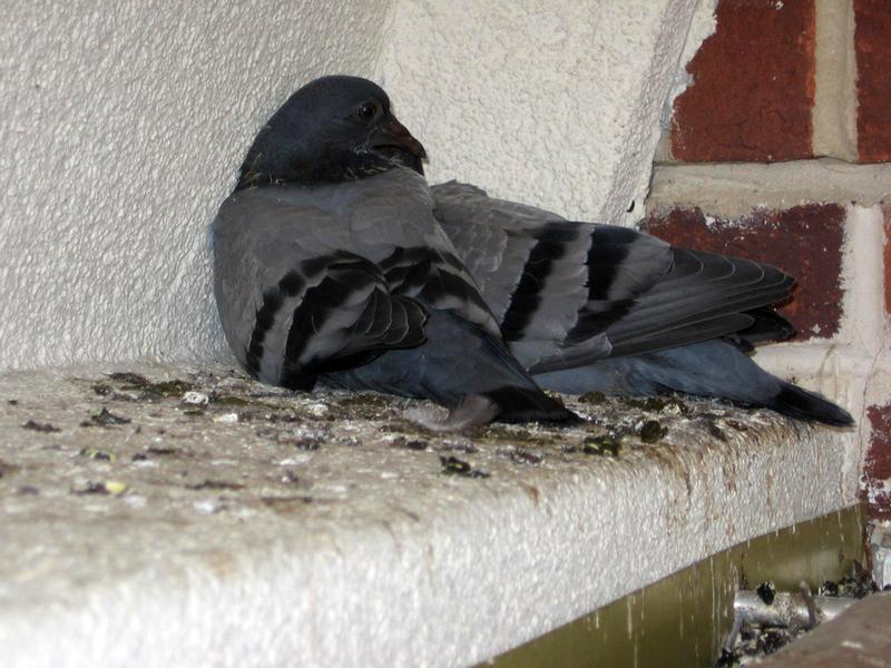 Pigeoninpoop